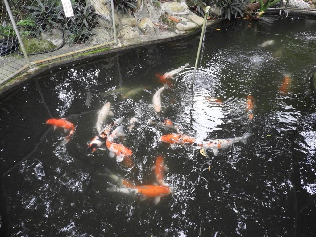 關西仙草博物館的圖片:養了許多錦鯉魚的水池