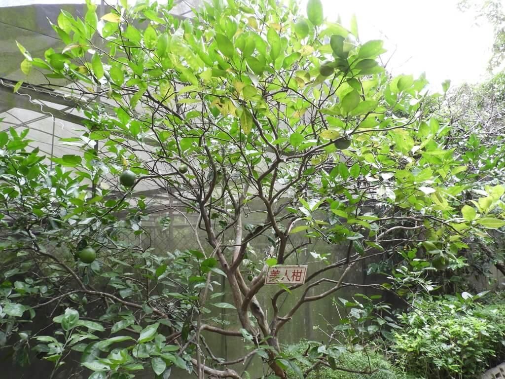 關西仙草博物館的圖片:美人柑