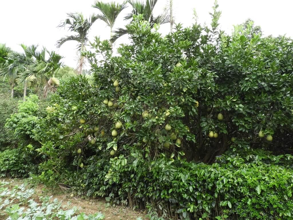 關西仙草博物館的圖片:柚子樹