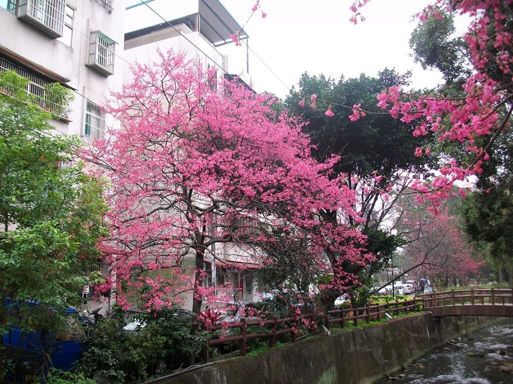 中壢莒光公園的圖片:櫻花樹(123657485)