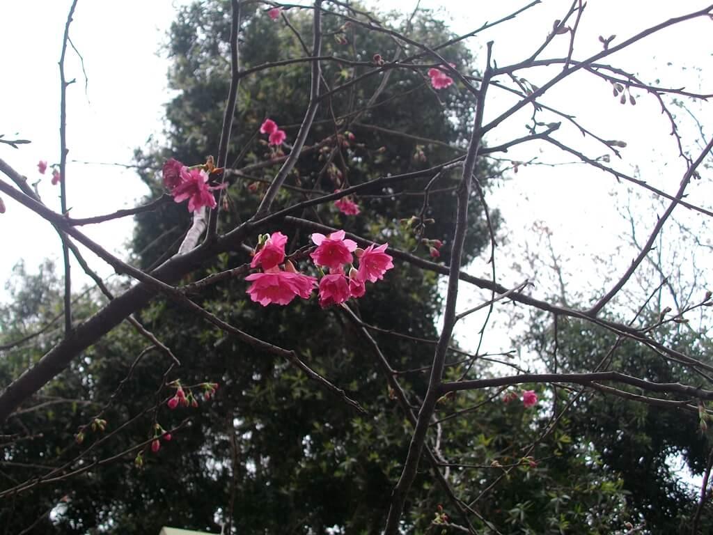 中壢莒光公園的圖片:櫻花(123657486)