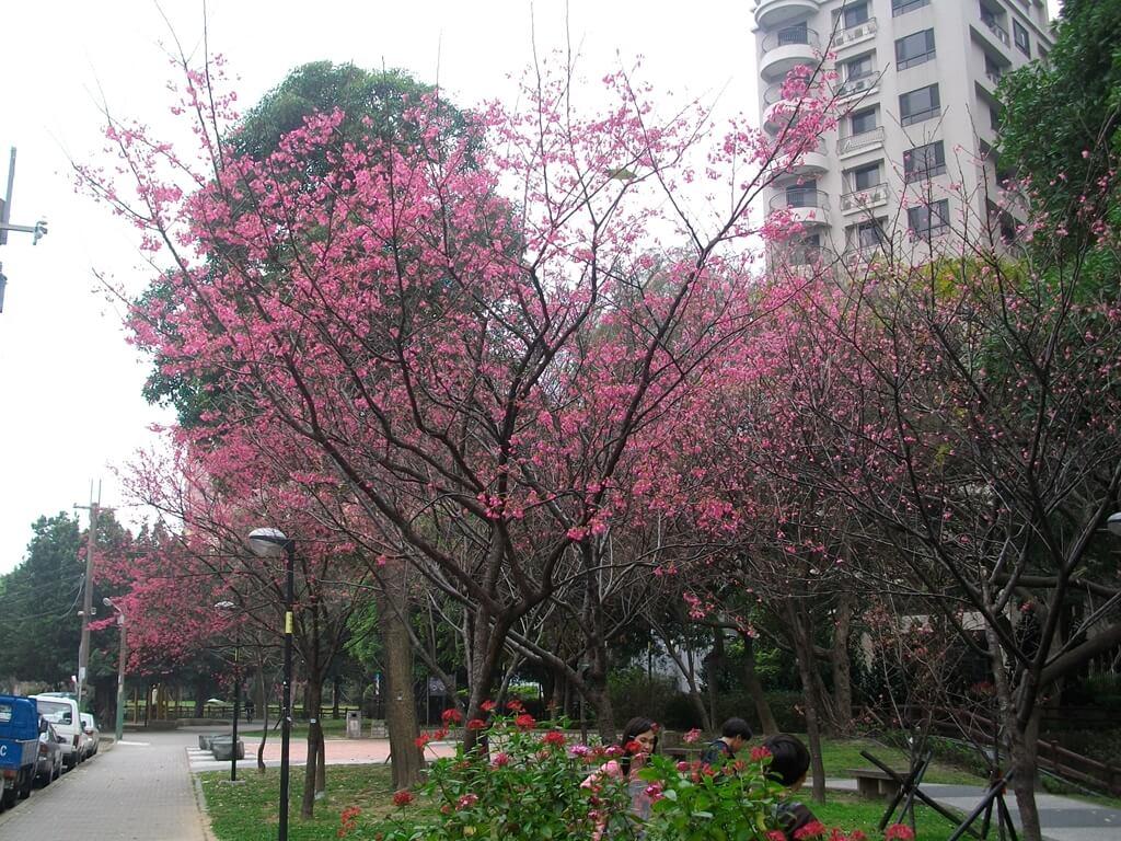 中壢莒光公園的圖片:櫻花(123657488)