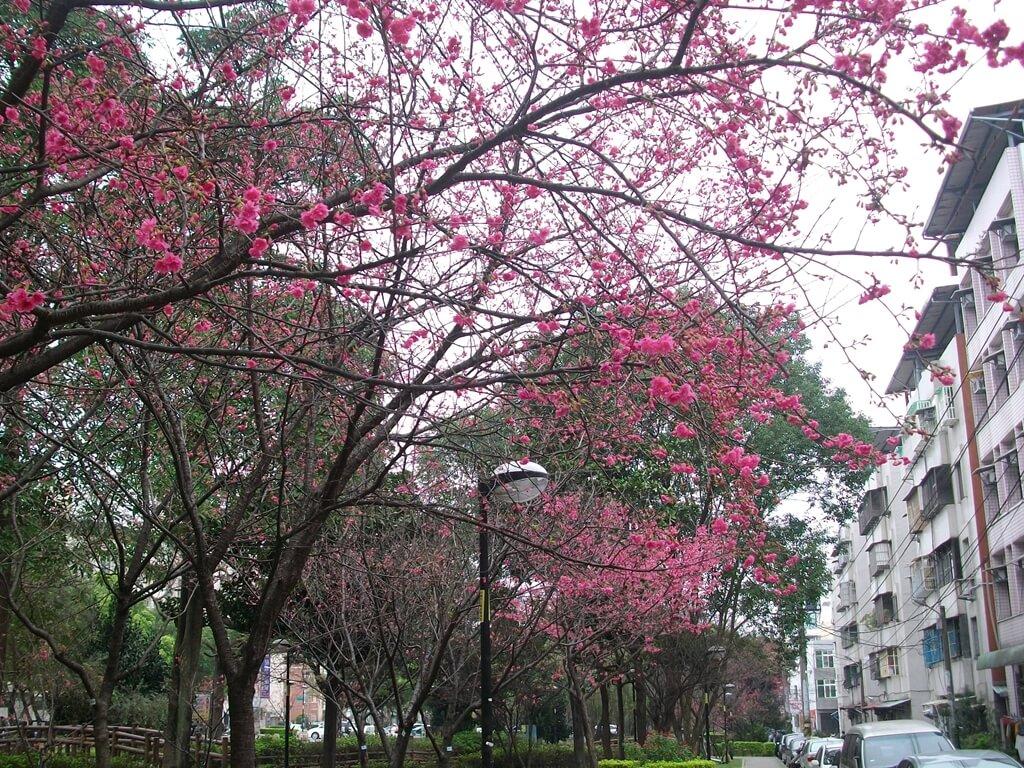 中壢莒光公園的圖片:櫻花(123657489)