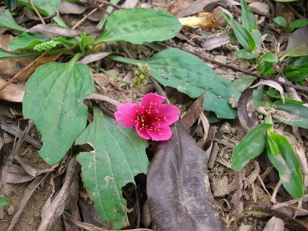 中壢莒光公園的圖片:掉落在草地上的單一朵櫻花