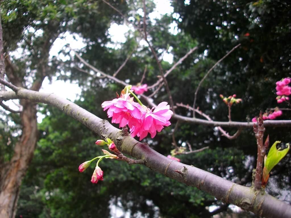 中壢莒光公園的圖片:樹上櫻花(123657495)