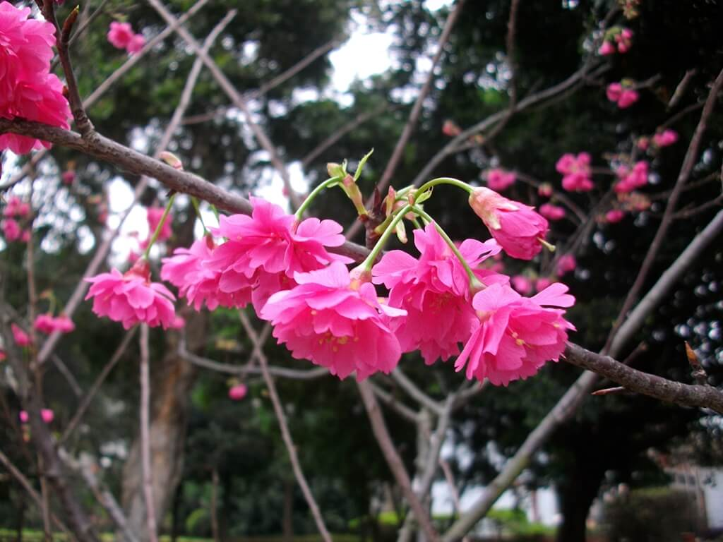 中壢莒光公園的圖片:樹上櫻花(123657496)