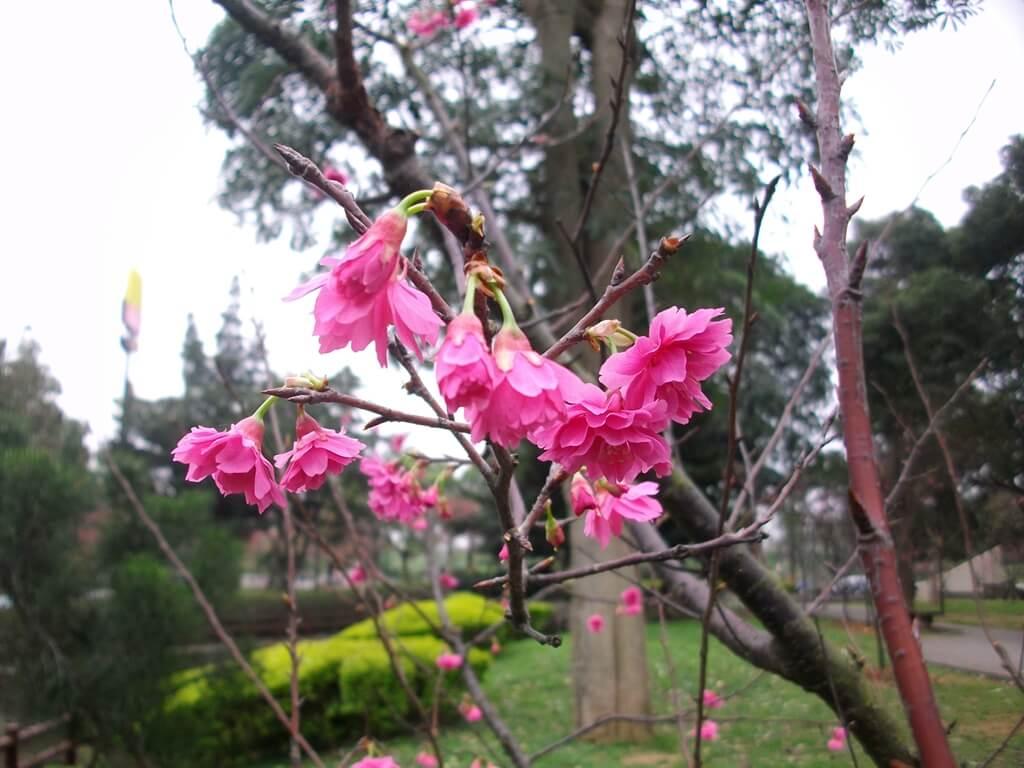 中壢莒光公園的圖片:樹上櫻花(123657497)