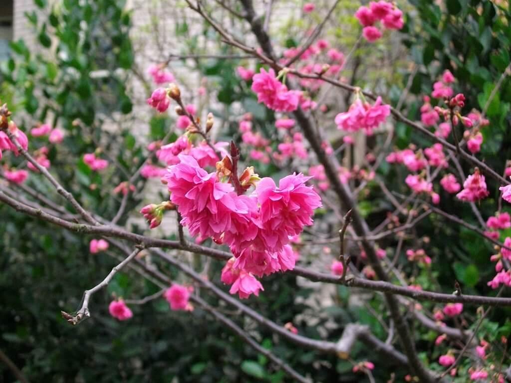 中壢莒光公園的圖片:樹上櫻花(123657498)