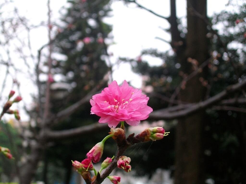 中壢莒光公園的圖片:樹上的櫻花(123657500)