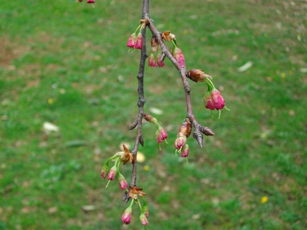中壢莒光公園的圖片:含苞待放的櫻花樹枝條