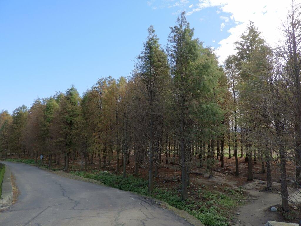 桃園八德落羽松森林的圖片:靠路邊一側的落羽松