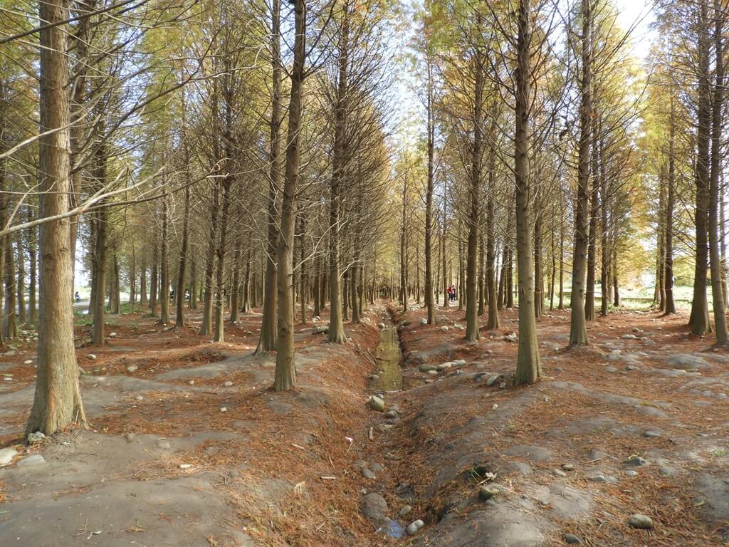 桃園八德落羽松森林的圖片:落羽松森林內的水溝