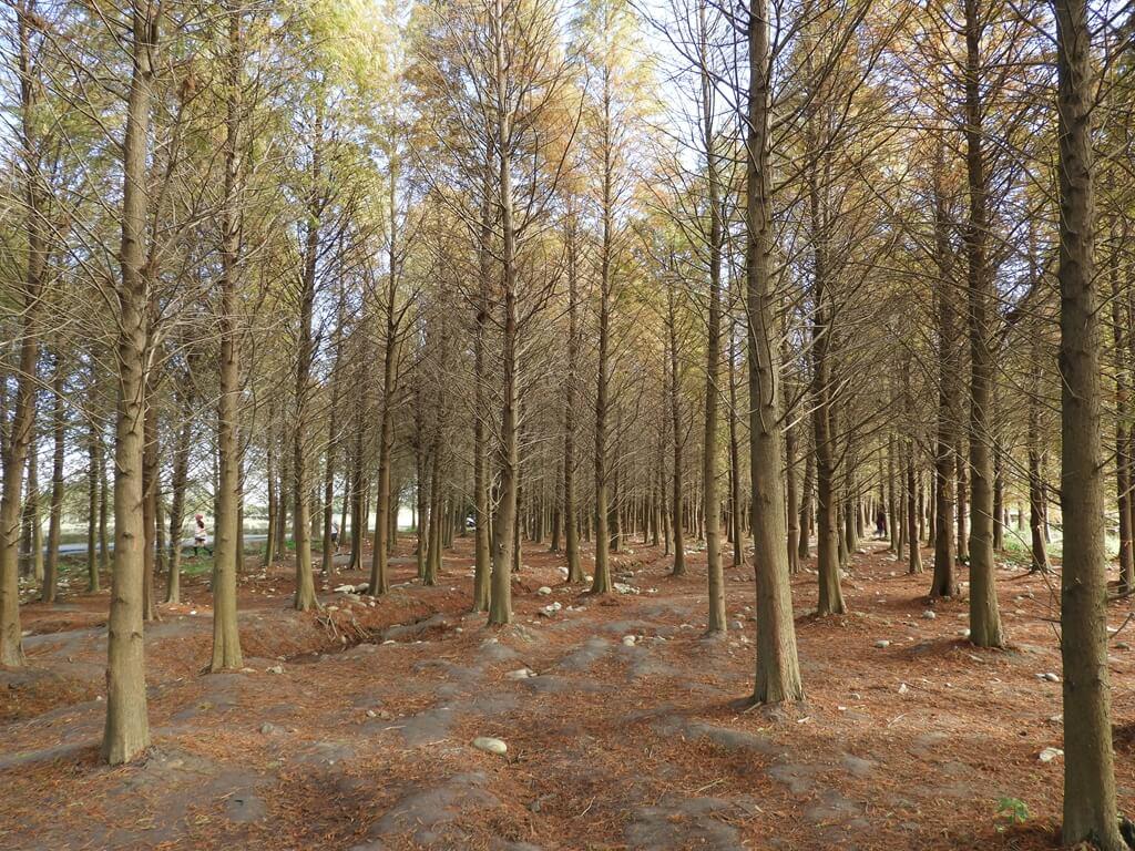 桃園八德落羽松森林的圖片:落羽松森林內(123657753)