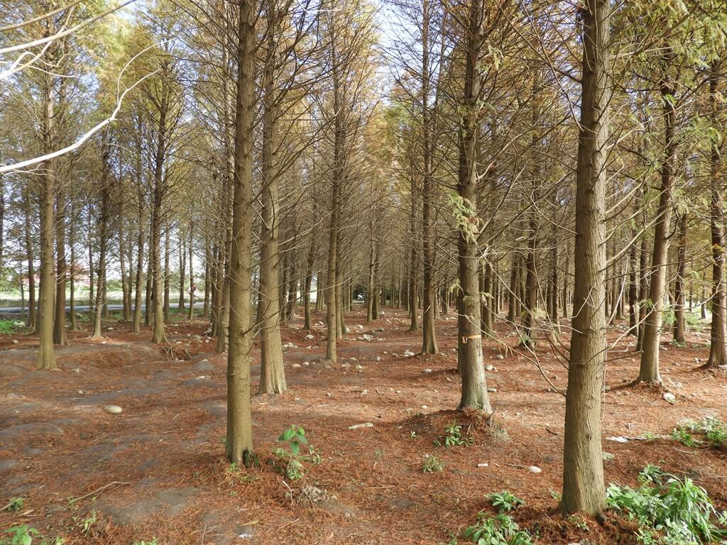 桃園八德落羽松森林的圖片:落羽松森林內(123657754)
