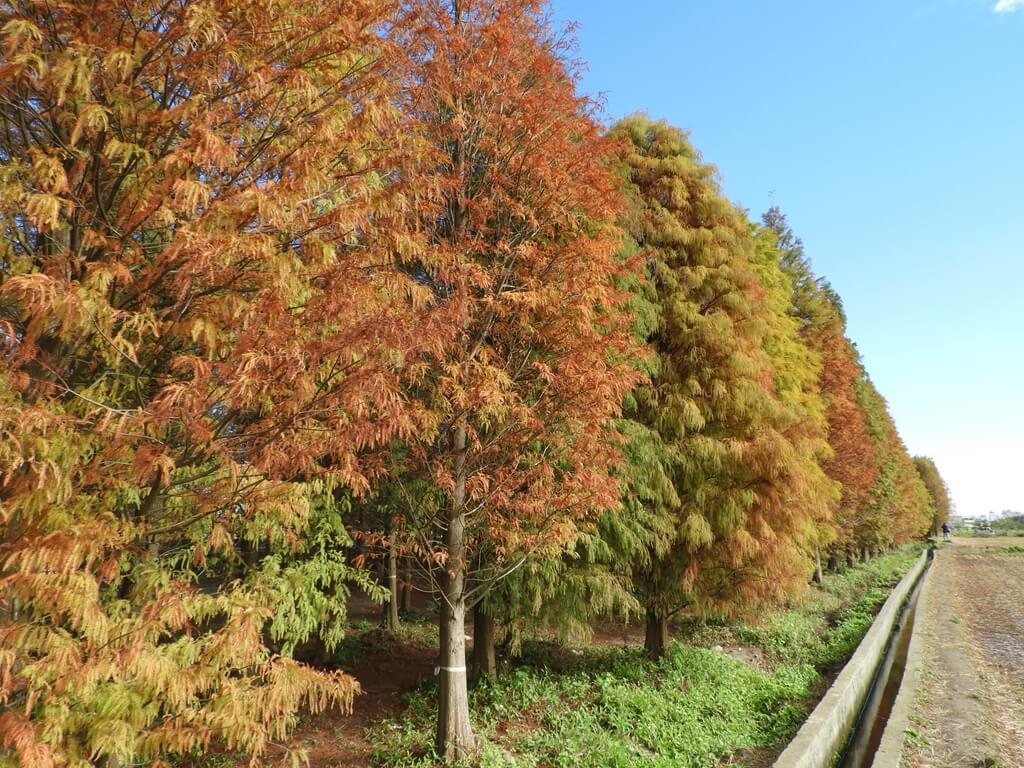 桃園八德落羽松森林的圖片:落羽松森林外的樣貌(123657755)