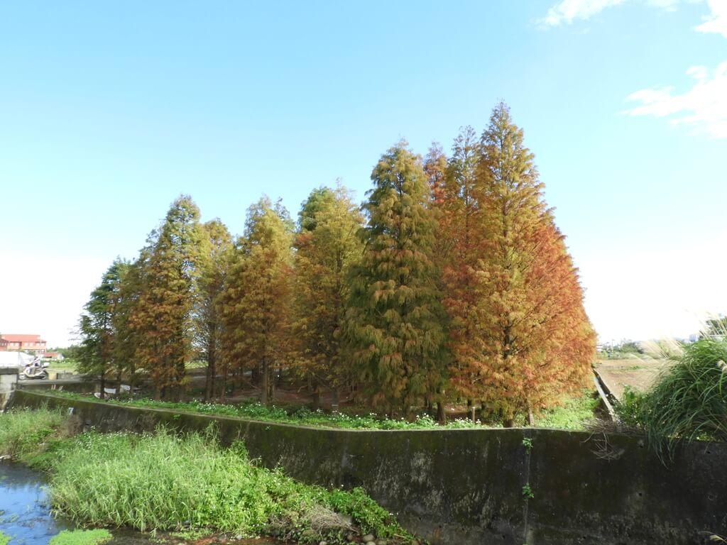 桃園八德落羽松森林的圖片:隔著茄苳溪拍攝
