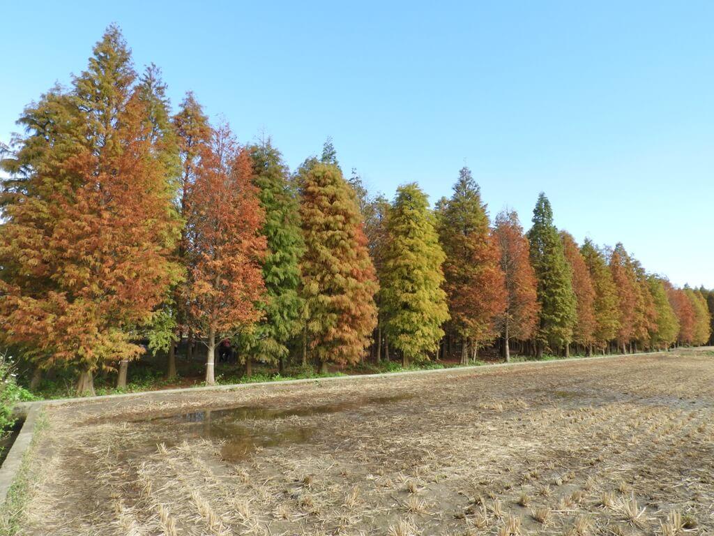 桃園八德落羽松森林的圖片:落羽松森林外的樣貌(123657757)