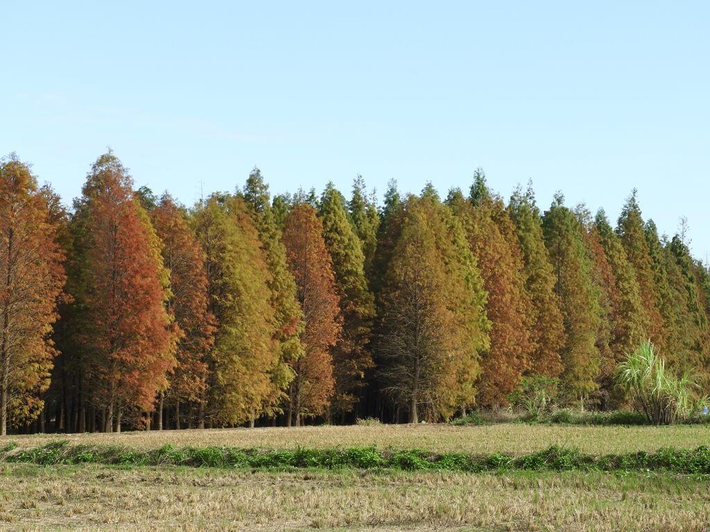 桃園八德落羽松森林的圖片:落羽松森林外的樣貌(123657758)