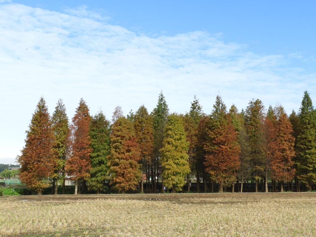 桃園八德落羽松森林的圖片:落羽松森林外的樣貌(123657759)