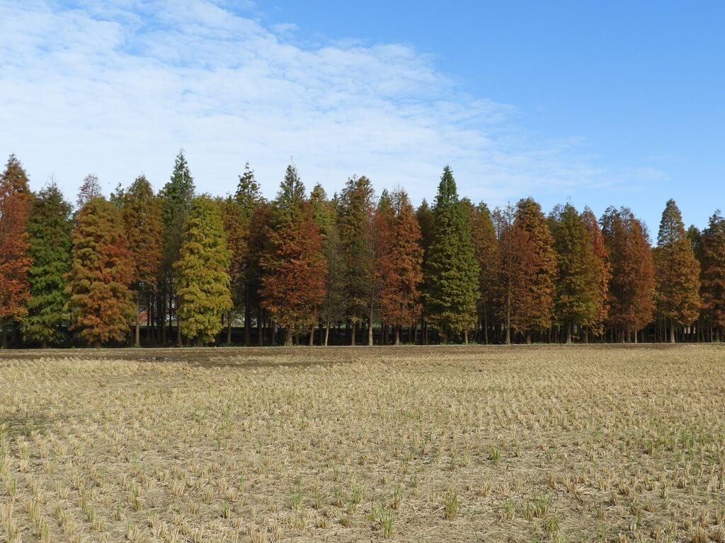 桃園八德落羽松森林的圖片:落羽松森林外的樣貌(123657760)