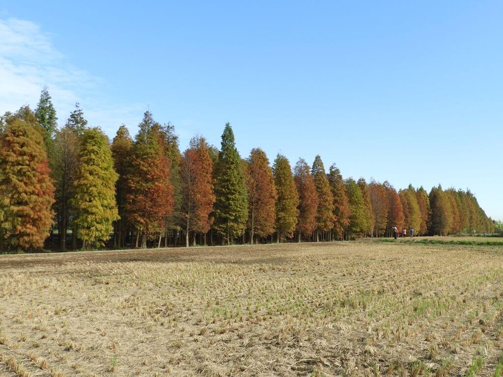 桃園八德落羽松森林的圖片:落羽松森林外的樣貌(123657761)