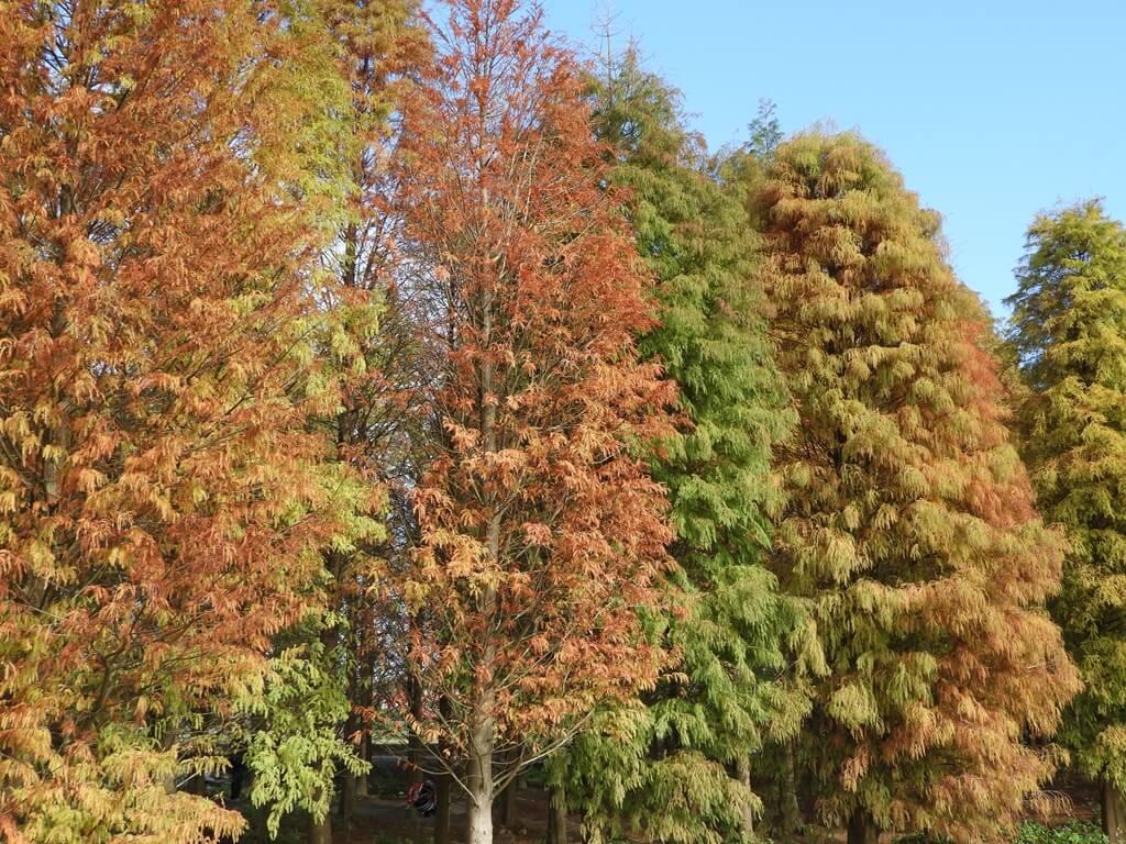 桃園八德落羽松森林的圖片:顏色漸層的落羽松森林