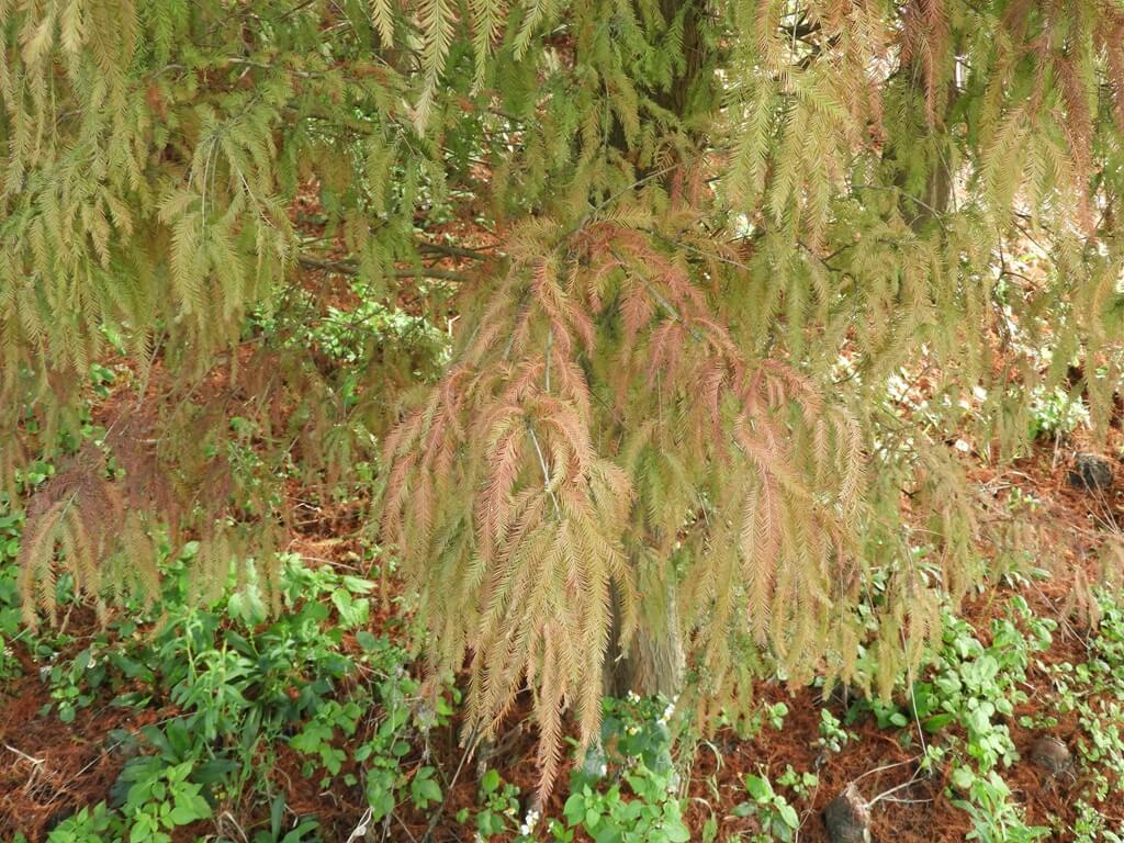 桃園八德落羽松森林的圖片:黃綠色的落羽松葉子
