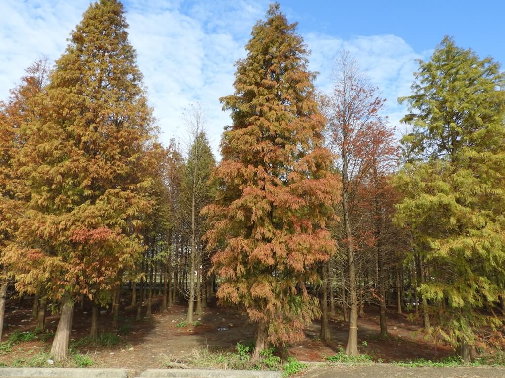 桃園八德落羽松森林的圖片:整株變色的落羽松