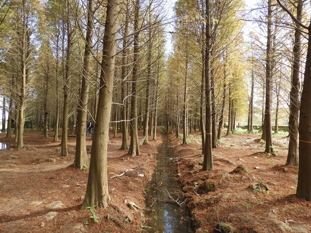 桃園八德落羽松森林的圖片:落羽松森林間的美景(123657766)