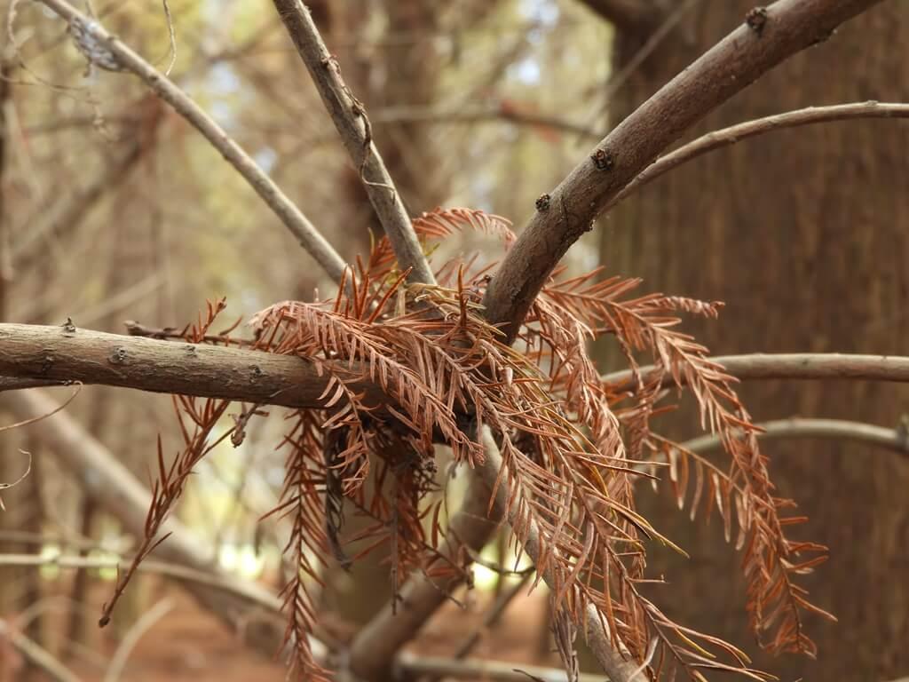 桃園八德落羽松森林的圖片:飄落在樹之上的落羽松葉