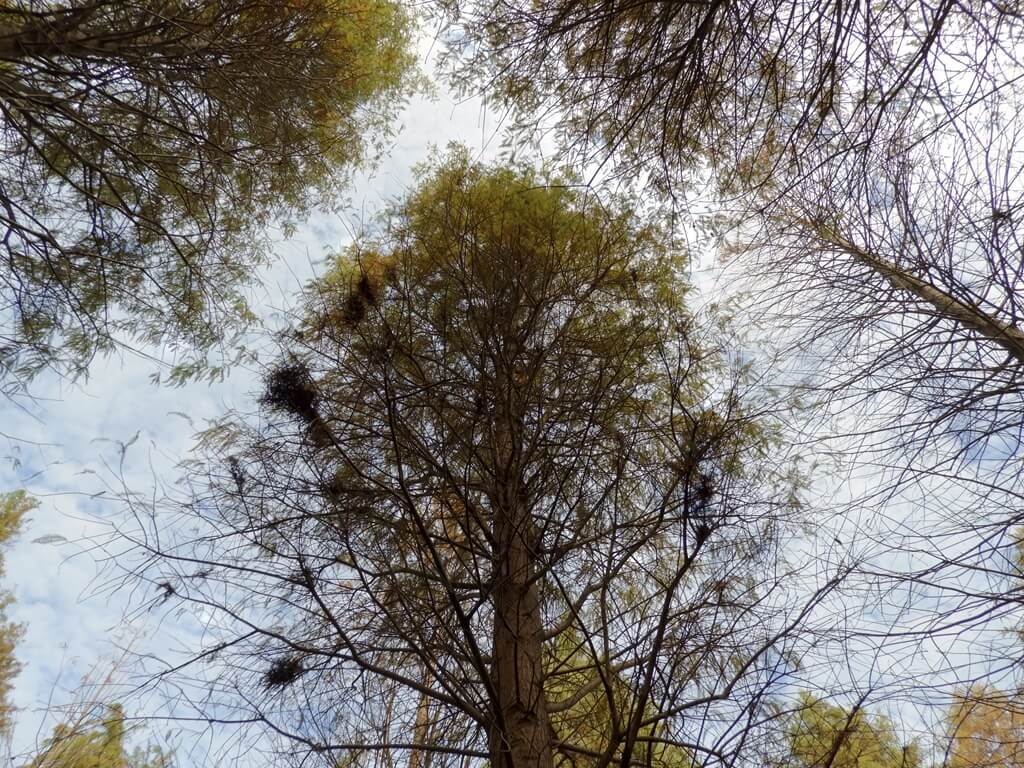桃園八德落羽松森林的圖片:高聳向上的落羽松樹