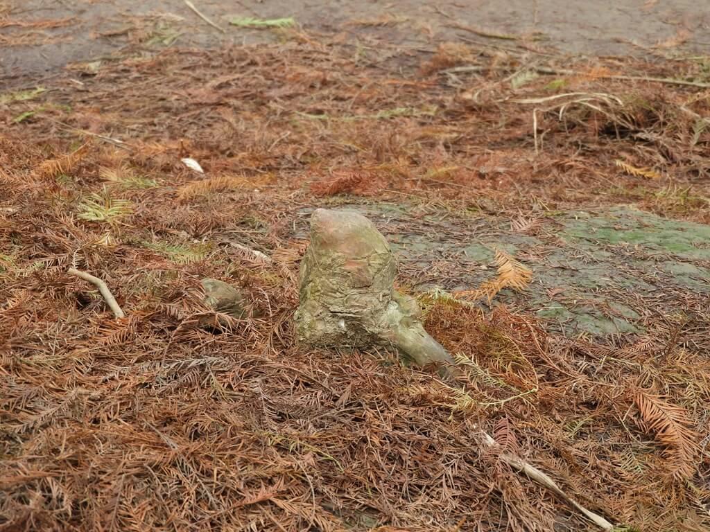 桃園八德落羽松森林的圖片:落羽松的氣生根(123657773)