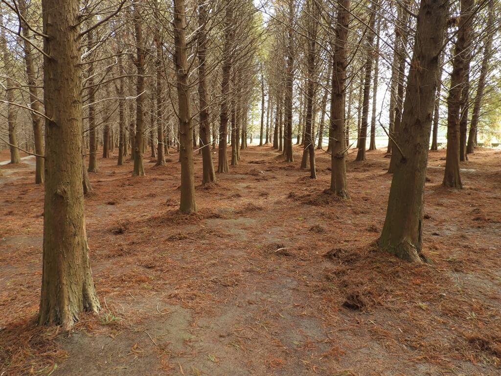 桃園八德落羽松森林的圖片:落羽松森林內的美景(123657775)