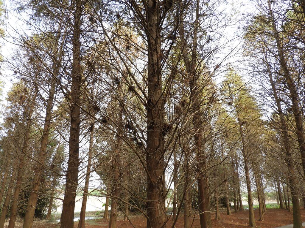 桃園八德落羽松森林的圖片:葉片凋落後的落羽松樹幹及樹枝