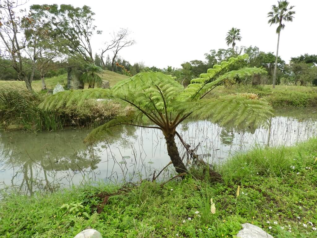 大溪山豬湖親水生態園區的圖片:雲荷池旁的蕨類植物