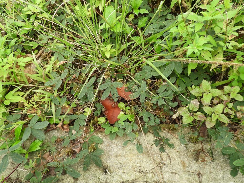 大溪山豬湖親水生態園區的圖片:含羞草