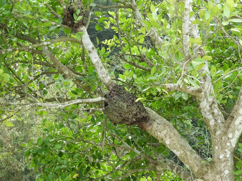 大溪山豬湖親水生態園區的圖片:樹上的螞蟻窩