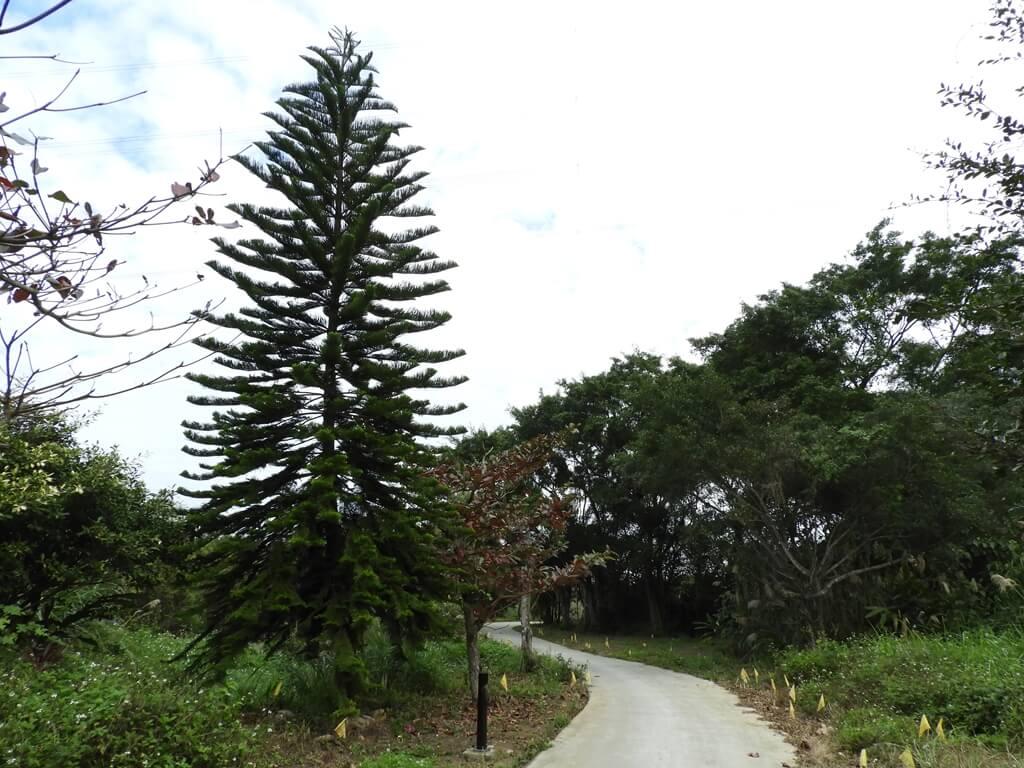 大溪山豬湖親水生態園區的圖片:路旁有一棵松樹