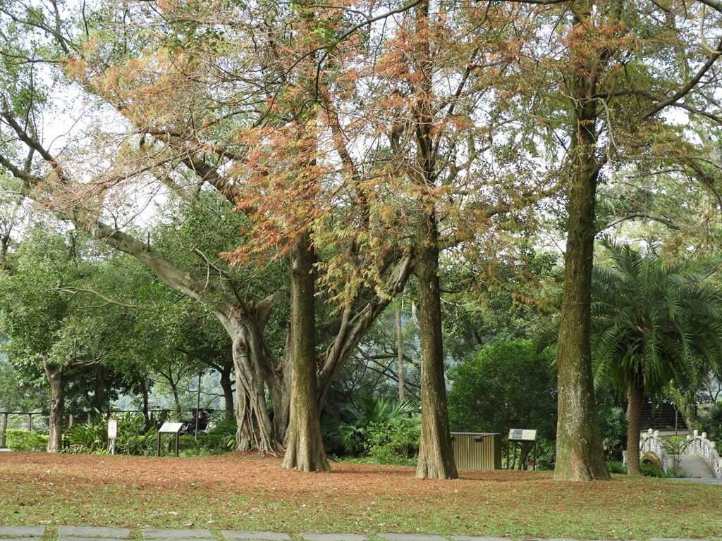 大溪中正公園的圖片:楓樹的楓葉都轉橘紅了 2019.1