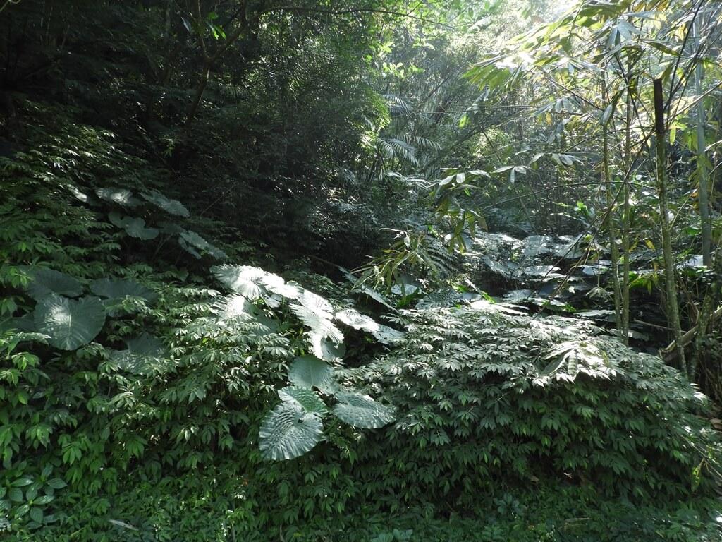 舊百吉隧道的圖片:百吉林蔭步道旁的山林