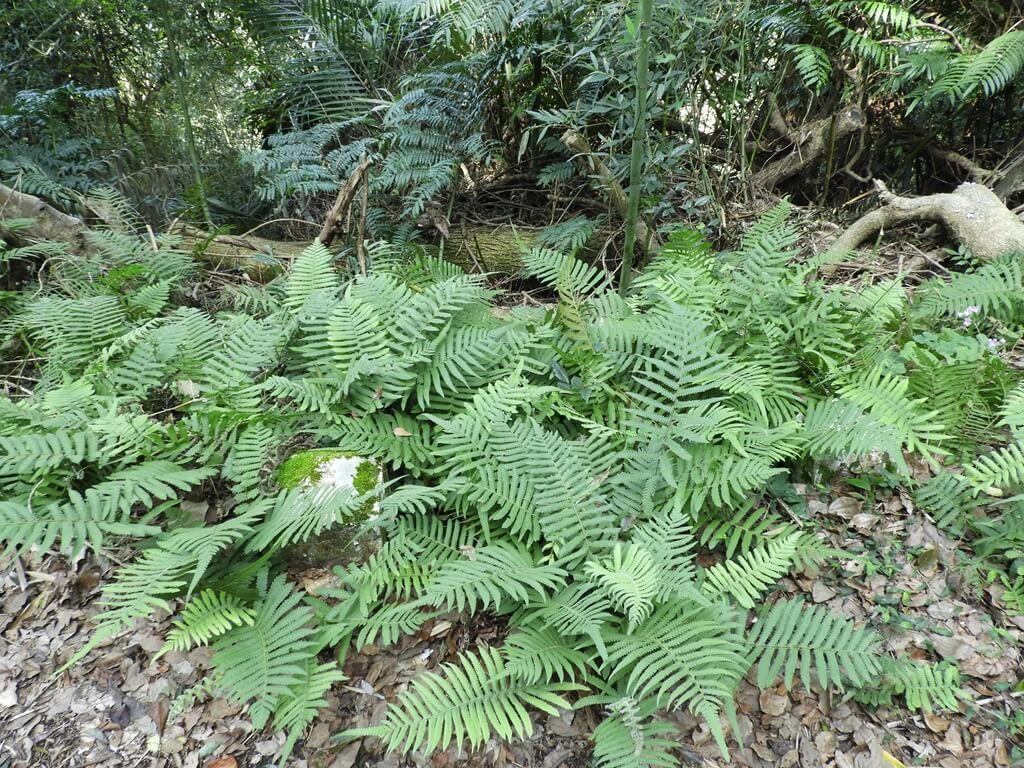 舊百吉隧道的圖片:原生植物豐富的百吉林蔭步道