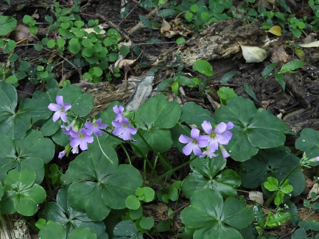 舊百吉隧道的圖片:路邊紫色小花