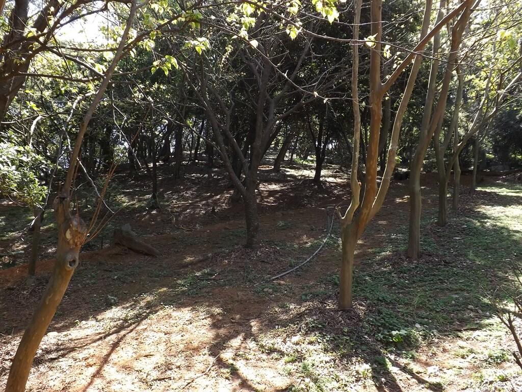 楊梅貴山客家文化公園的圖片:步道旁的老樹群