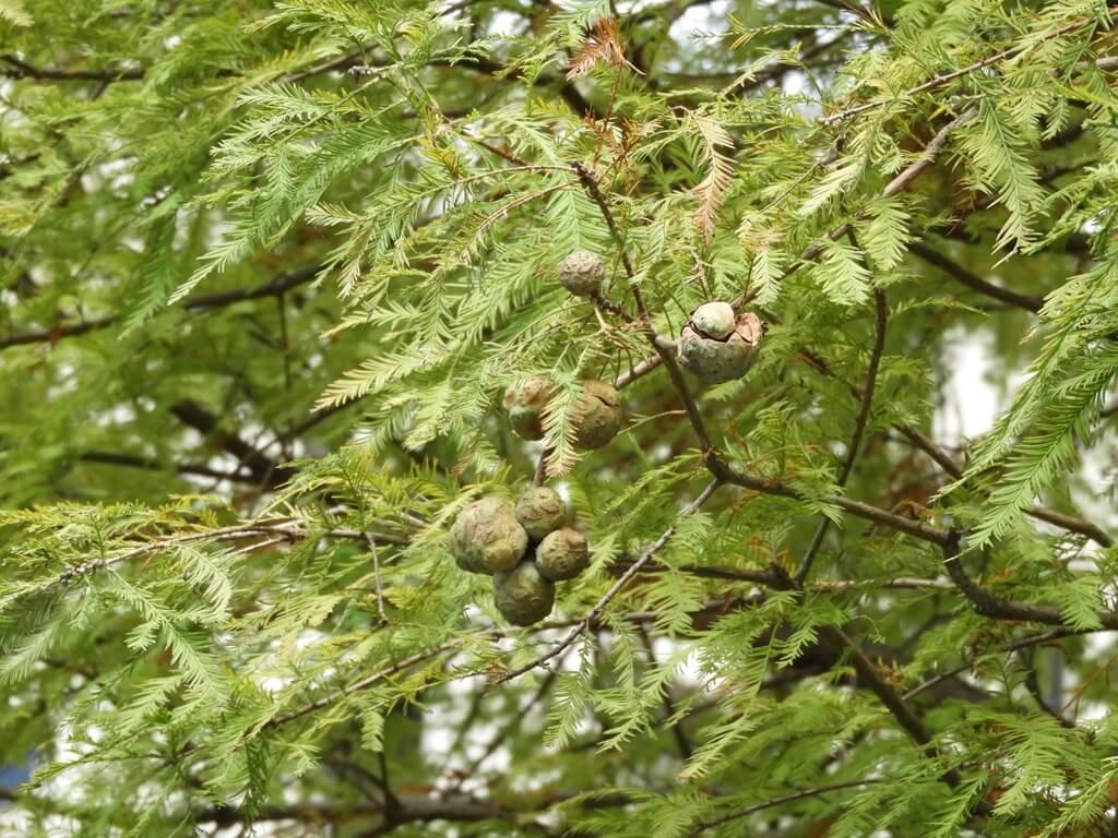 桃園玉山公園的圖片:落羽松的種子