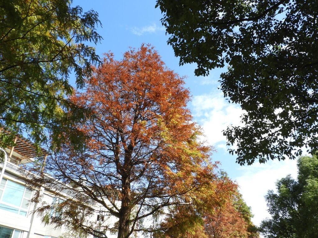 桃園玉山公園的圖片:落羽松(123658153)