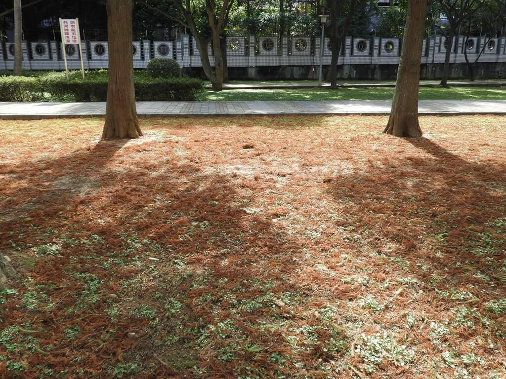 桃園玉山公園的圖片:草地上的落羽松落葉