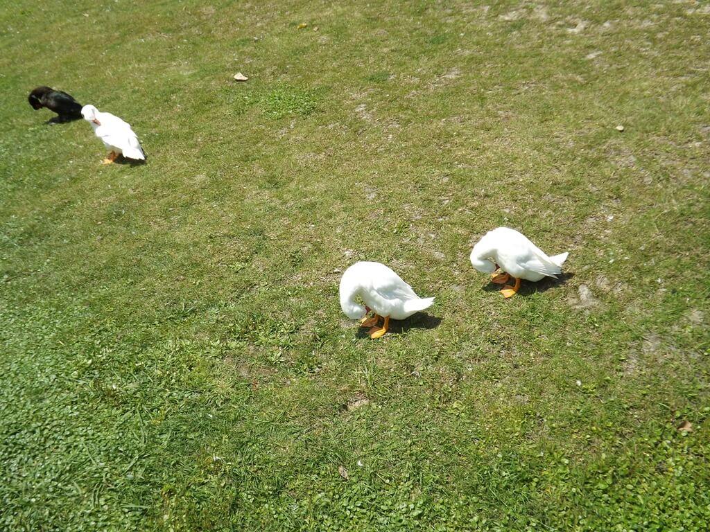 青塘園的圖片:草地上的鴨子