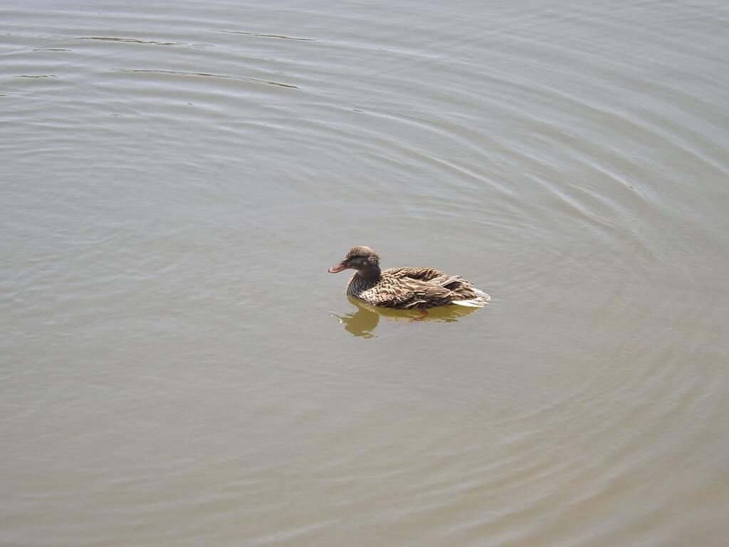 青塘園的圖片:悠游的鴨子