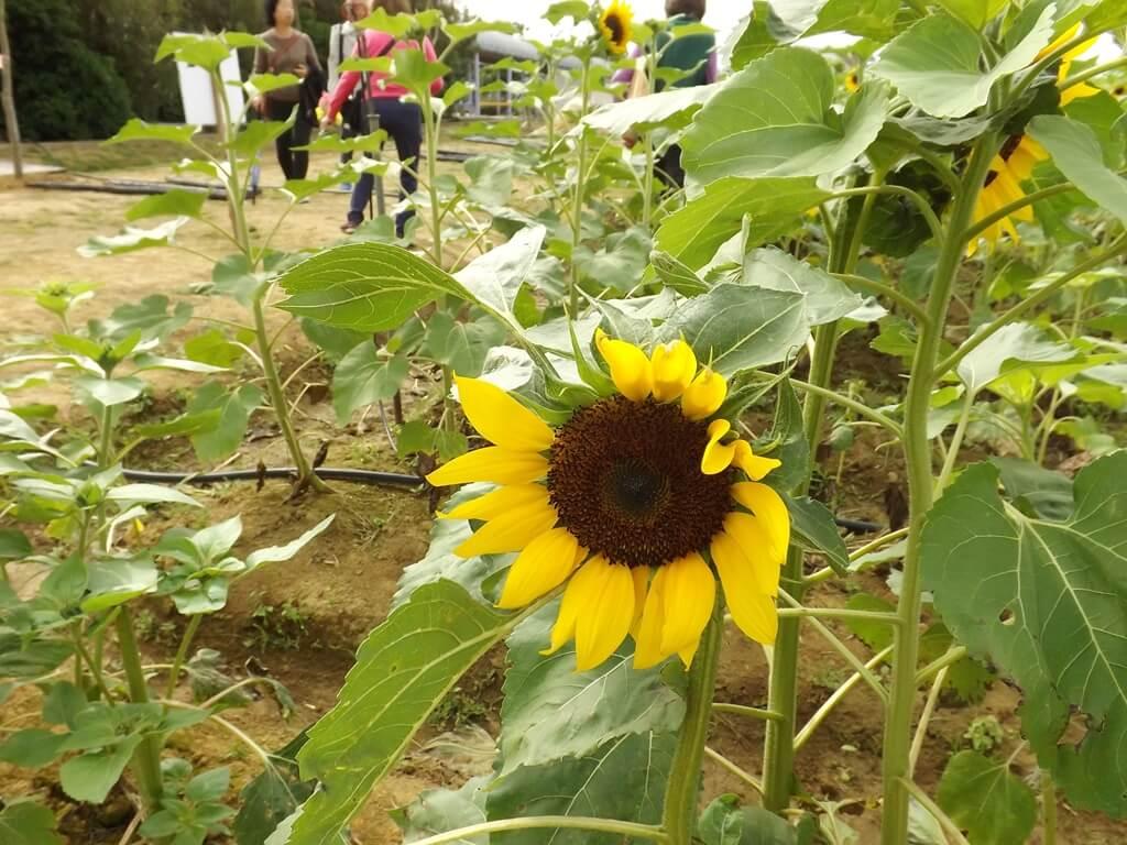 向陽農場的圖片:向日葵的花很大一朵