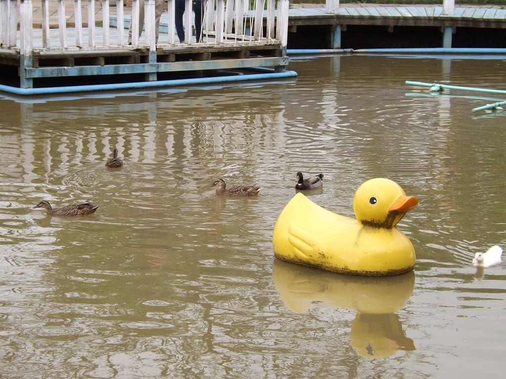 向陽農場的圖片:黃色小鴉帶著真正的小鴨